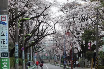 日大の桜1