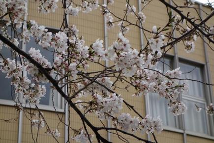 日大の桜3